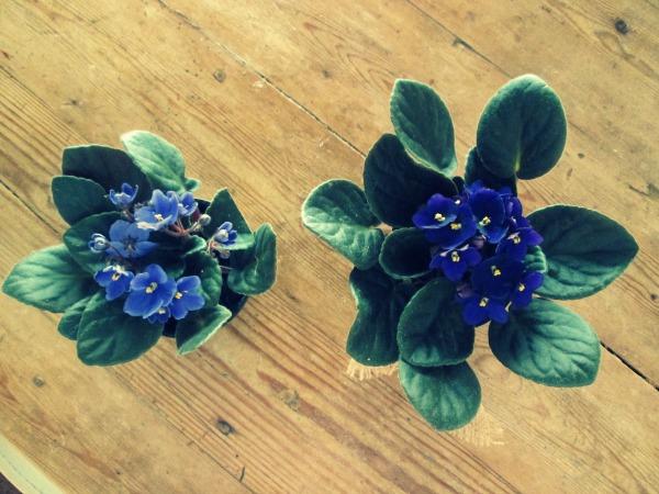 twopurpleplants2